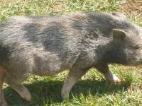 Pair of mini pigs. Female is blue with black spots, 1