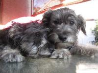 2 Baby miniature schnauzer puppies are looking for a