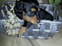 she was Born August 17th 2013 she is black and tan