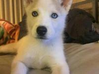 Hello, 2 mo old husky female playful active and super