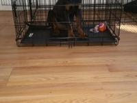 Female rottie puppy for sale must get shots and tail
