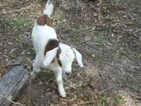 I have a 2 month old male goat I will sell. if