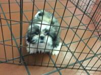 2 month old pure breed male Shih Tzu needs a home. I