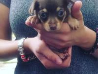 Tcup tri colored chihuahua pups available to good home