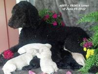 Our Standard Poodle Abby had her new F1b Goldendoodle