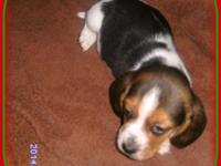 2 NKC Registered male Tri -colered (Traditional) Beagle