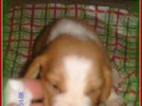 2 NKC Registered male/ Tan & & white Beagle Puppies.