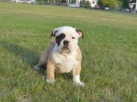 We have 2 adorable Males left! Purebred and registered