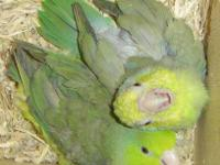 parrotlets for sale in Ohio Classifieds & Buy and Sell in Ohio