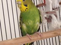 I have available 2 green female parakeets in a black