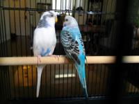 I'm re-homing 2 parakeets, as I've developed