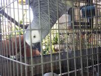 Selling 2 African grey parrot male 13 yr old 2 female