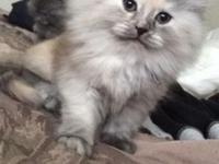 2 kittens available. I silver shaded Tortie female
