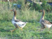 I have two Pilgrim geese I'd like to rehome. I'd take