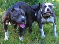 2 female pitbull blue and blue brindle they are 12