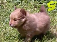 We have 2 Pomeranian pups for sale. They will certainly