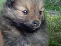 We have 2 male Pomeranian puppies for sale. One is a