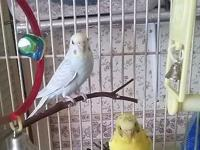 have a male pastel blue budgie and a female yellow