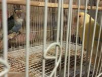 I am selling 2 pairs of lovebird for sale. I still have