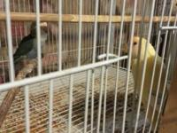 I am selling 2 pairs of lovebird for sale. They usually