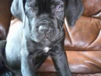Cane Corso Puppies Born 7-6-15 1 black male 1 black
