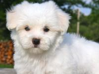Hello, I have 2 pure breed AKC registered male and