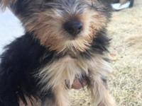 I have two purebred male yorkies one is 11 weeks old