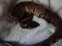 2 ball pythons, males, cage, wood log, wood play