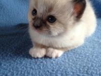 St Cloud Ragdolls have 2 kitties available for December