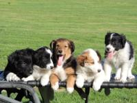 2 RESCUED Aussie/Collie Mixed Puppies,, 2 Boys are now