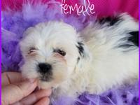 2 shih poo puppies 1 male and 1 female ready for good