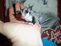 I have 2 sugar gliders both around 6 months old. I am
