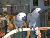 we have 2 talking african greys which we are looking