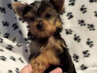 I have 2 tiny Teacup Females Yorkies ready for their