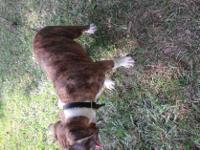 Animal Type: Dogs Breed: Pitbull 2 tiger stripe female