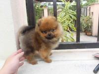 2 Top Quality Pomeranian puppies ,Dela $ Teddy named,