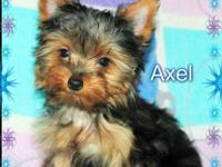 2 Small AKC Registered Male Yorkies available. 16 weeks