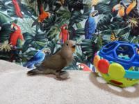 2 Beautiful Lovebird babies for sale. 50.00 for the