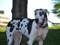 2 YEAR FEMALE GREAT DANE. HAS HAD ONE LITTER. GOOD WITH