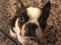 2 year old male Boston terrier. Is great with children