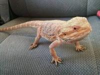 i have a 2 year old female bearded dragon great color