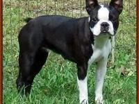 Sky is a 2 year old Spayed female Boston terrier that