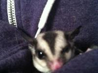 2  year old female glider  with extra large