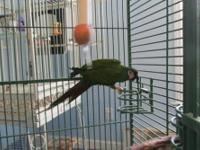 Very nice Illiger's Macaw with cage. His name is Jack,
