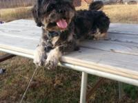 Gizmo is a 2 year old male shih tzu. He is not repaired