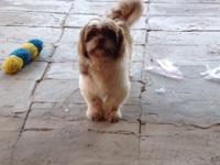 Male 2 years old imperial shih tzu weight about 9