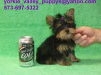 This Is #2 Yorkie Girl, I Kept 2 Girl Yorkies Back And