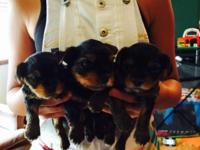 I have two beautiful Yorkie puppies available. Born