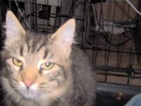 2 grey stippede cats unknown if male or female due to