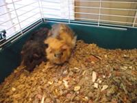 2 young female guinea pigs, come with large cage and